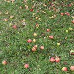 05 Die Äpfel purzeln