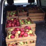 12 Die Äpfel werden in Autos verladen