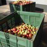 17 Anderthalb große Kisten Äpfel